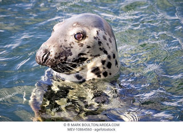 Head of Atlantic Grey seal (Halichoerus grypus). Isle of Mull Scotland UK. seal head watching Atlantic grey Halichoerus grypus eyes whisker