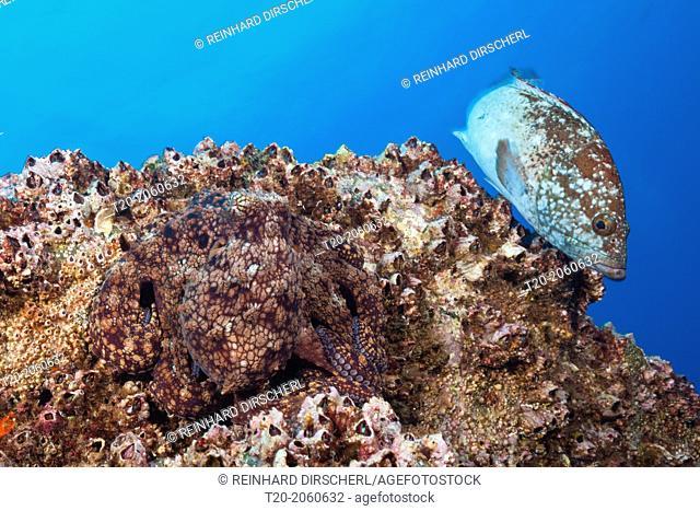 Common Octopus, Octopus vulgaris, Socorro, Revillagigedo Islands, Mexico