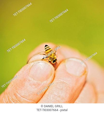 Beekeeper holding honey bee