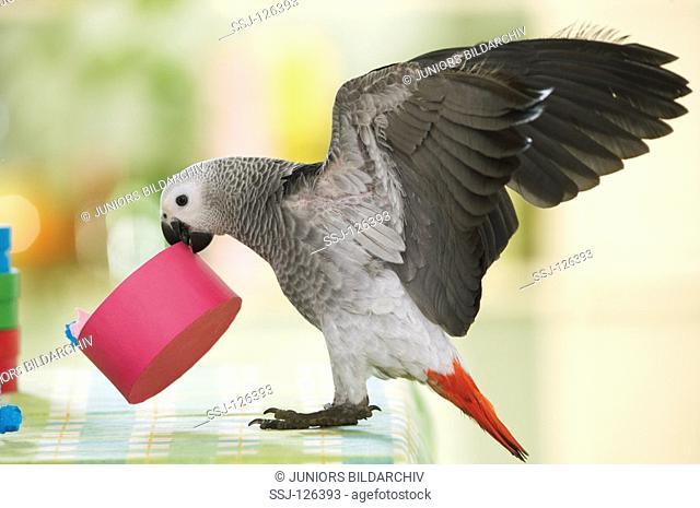 Congo African Grey parrot with carton in beak - Psittacus erithacus