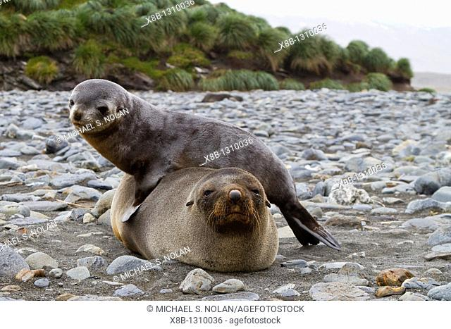Antarctic fur seal mother and pup Arctocephalus gazella on South Georgia, Southern Ocean  MORE INFO Around 95 of the world population breeds at the Island of...