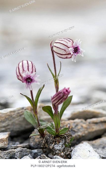 Polar campion / Northern catchfly (Silene uralensis arctica / Silene wahlbergella arcticum) in flower among rocks, Svalbard / Spitsbergen, Norway