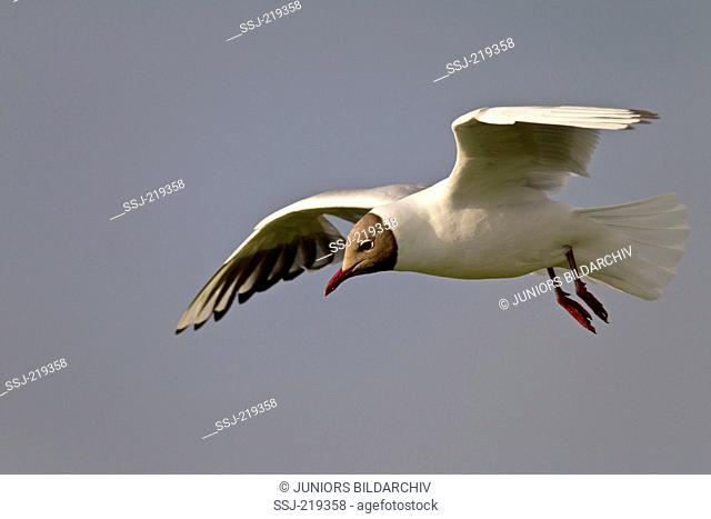 Black-headed Gull (Larus ridibundus). Adult in breeding plumage in flight. Germany
