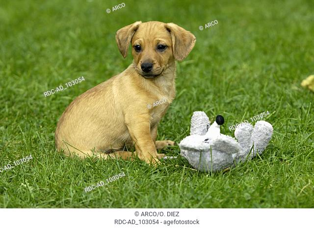 Mixed Breed Dog puppy with toy