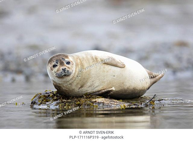 Common seal / harbour seal (Phoca vitulina) resting on rocky coast, Svalbard / Spitsbergen, Norway
