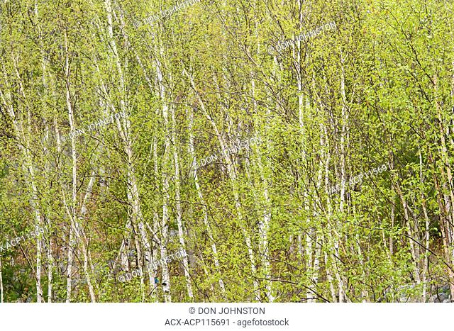Birch trees with emerging spring foliage, Greater Sudbury, Ontario, Canada