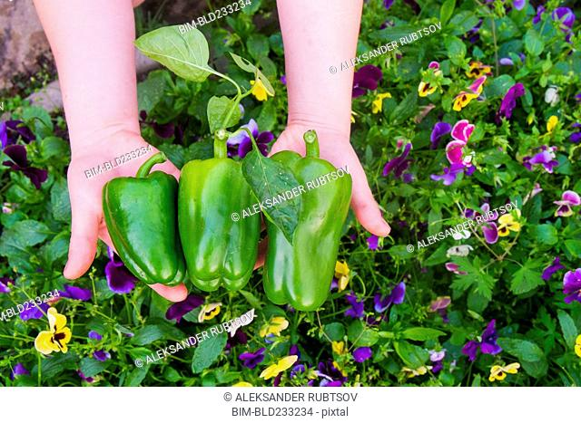 Close up of hands holding green peppers over flowers