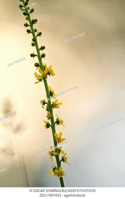 Common Agrimony (Agrimonia eupatoria). Central Balkan National Park. Bulgaria