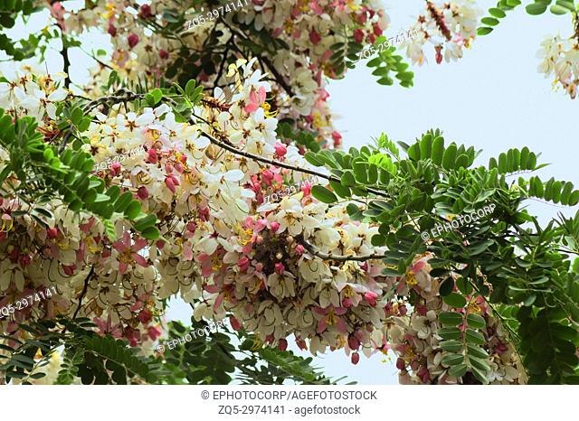Cassia javanica, pink shower or apple blossom tree
