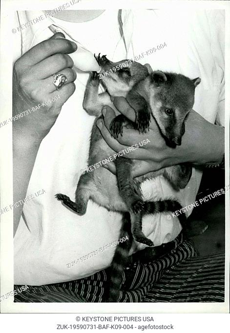 Jul. 31, 1959 - Pancho -Pablo and Papita - make their public debut. Coati Mundi babies at Battersea Park Zoo.: To be seen at the Battersea Park Zoo this morning...