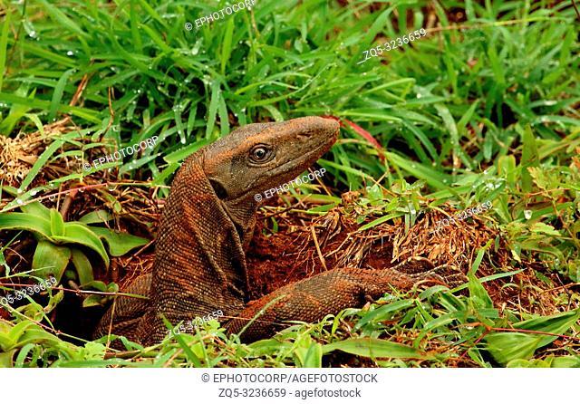 Indian Moniter Lizard, Varanus bengalensis, Bandipur National Park, Karnataka, India