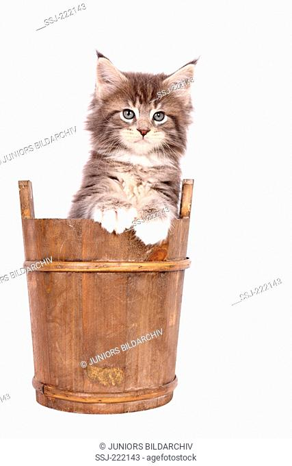 American Longhair, Maine Coon. Tabby kitten (6 weeks old) in a wooden tub. Studio picture against a white background