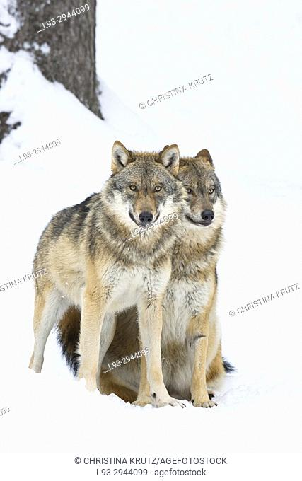 Two wolves (Canis lupus), Bavarian Forest National Park, Germany