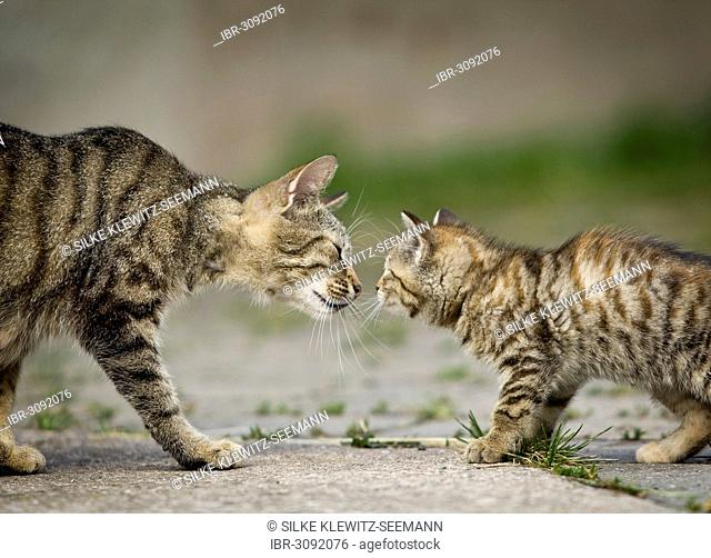 Brown-tabby cat mother and kittens sniffing each other