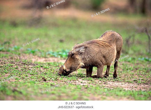 Warthog, (Phacochoerus aethiopicus), adult searching for food, feeding, Hluhluwe Umfolozi Nationalpark, Hluhluwe iMfolozi Nationalpark, KwaZulu Natal