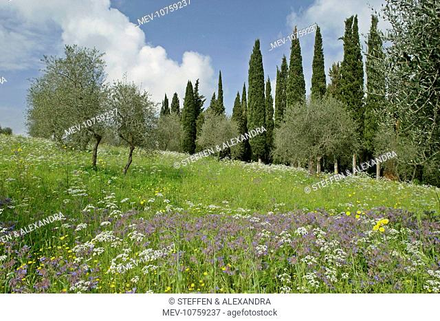 Spring meadow with olive trees, cypress trees (Cupressus sempervirens) and flowers like Mediterranean Hartwort (Tordylium apulum)