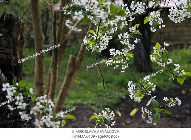 Prunus avium, Cherry