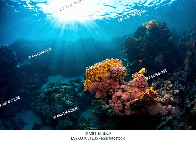 Underwater shot of the coral reef with bright corals. Red Sea, Egypt