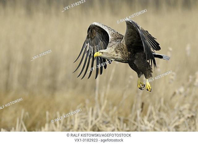 Adult White-tailed Eagle / Sea Eagle ( Haliaeetus albicilla ) in flight, beating its wings, surrounded by golden reed.