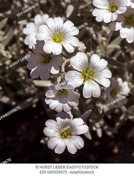 Cerastium tomentosum flowers. Botanical Garden, KIT Karlsruhe, Germany, Europe