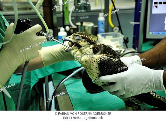 Dr. Margit Gabriele Mueller, head of the Abu Dhabi Falcon Hospital, examining a falcon, Abu Dhabi, United Arab Emirates, Arabia, Middle East, Orient