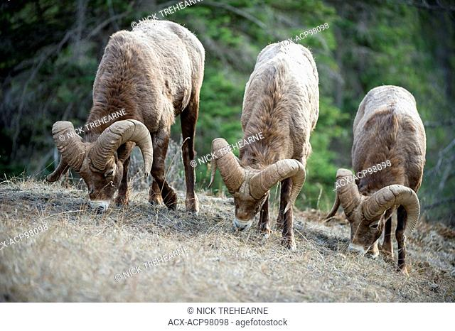 Male, Ram, Bighorn Sheep, Ovis canadensis, Rocky Mountains, Alberta, Canada
