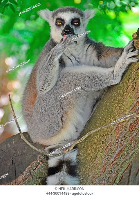 A Ring-Tailed Lemur sitting in a tree looks drowsy