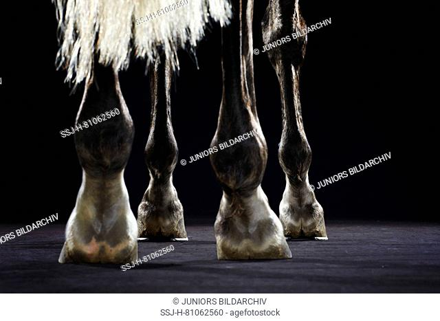 Pure Spanish Horse, Andalusian. Woman schooling a young horse in a riding hall. Touching the legs with a whip. Germany