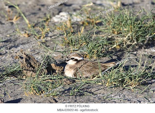 Shepherd-plovers, Charadrius pecuarius