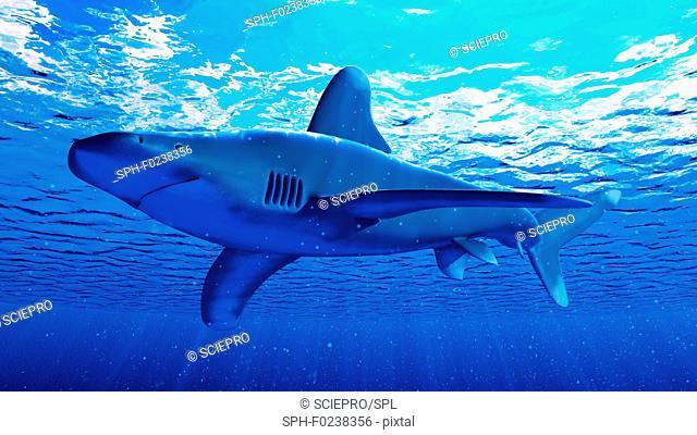 Illustration of a white tip shark