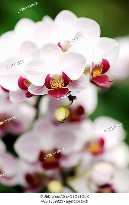 Phalaenopsis orchid, Singapore Botanic Gardens, Singapore