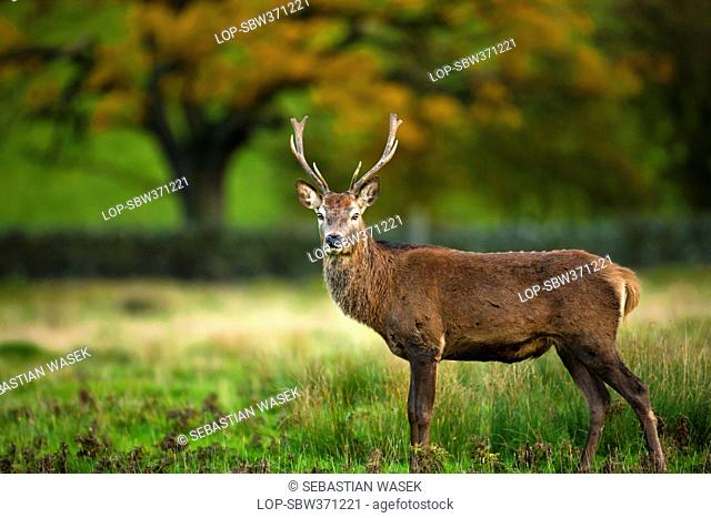 England, Leicestershire, Bradgate Park. Red Deer, Cervus elaphus in Bradgate Country Park, Leicestershires largest and most visited Country Park