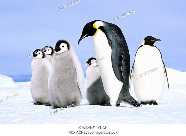 Emperor penguin Aptenodytes forsteri adult and chicks, Snow Hill Island, Weddell Sea, Antarctica