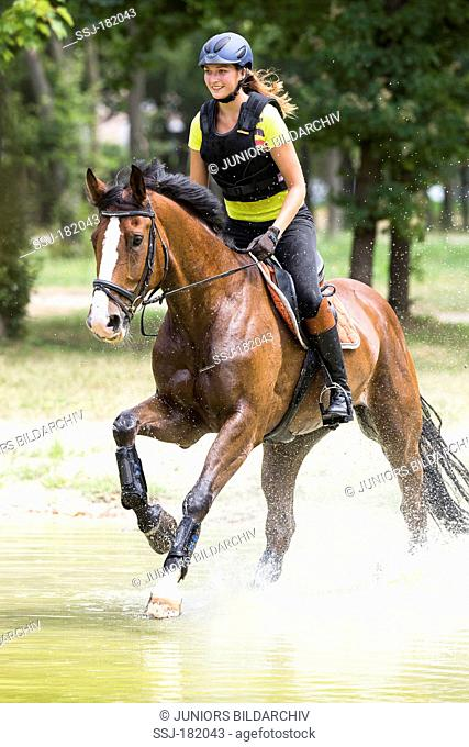 Bavarian Warmblood. Bay mare with rider galloping through shallow water. Austria