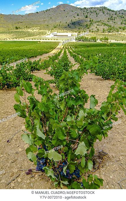 Vineyards, Bodega Sierra Salinas, D.O. Vinos de Alicante, Alicante Province, Comunidad Valenciana, Spain