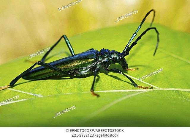 Long Horn Beetle, Cerambycidae, Corbett Tiger Reserve, Uttarakhand, India