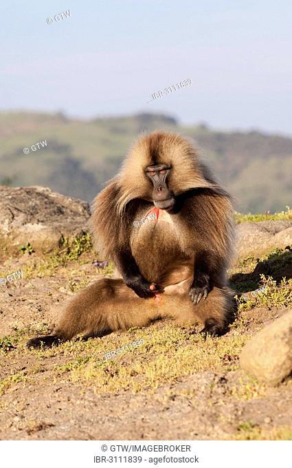 Gelada baboon (Theropithecus gelada), Simien Mountains National Park, Amhara Region, Ethiopia