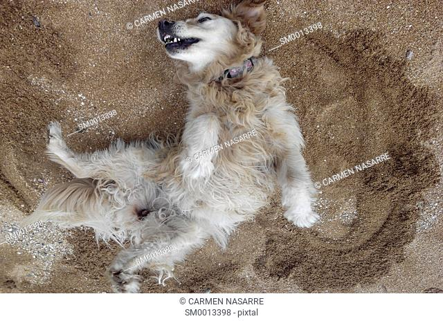 Dog lying on his back on the sand