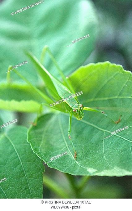 A green Katydid on a leafy plant