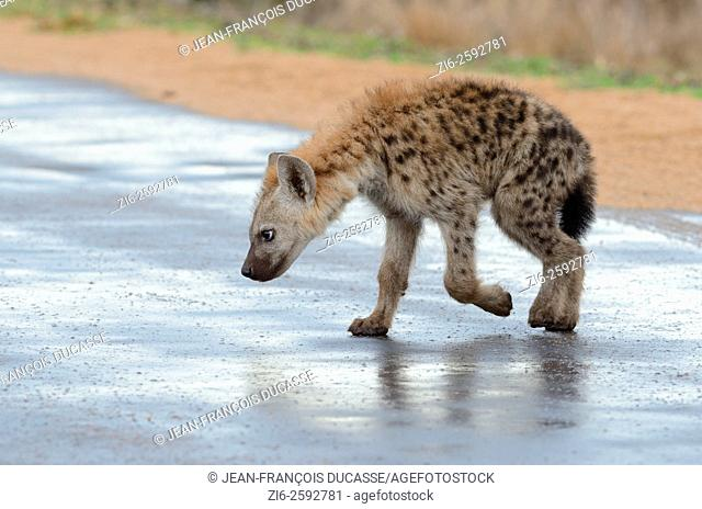 Spotted hyena (Crocuta crocuta), cub, walking on a wet road, after the rain, Kruger National Park, South Africa, Africa