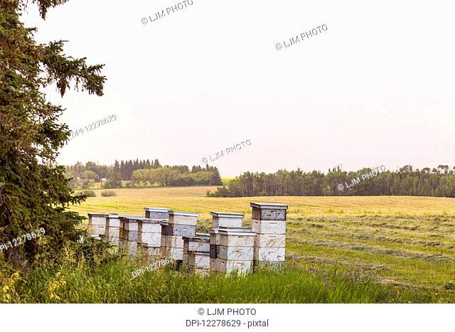 Stacks of beehives beside alfalfa field in autumn; St. Albert, Alberta, Canada