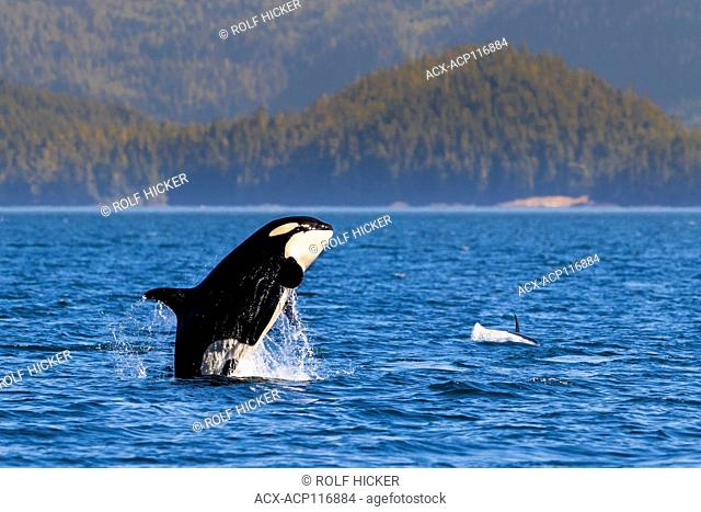 Northern resident killeer whale breaching in front of Swanson Island off Northern Vancouver Island, British Columbia, Canada