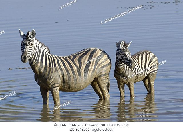 Burchell's zebras (Equus quagga burchellii), adult and young standing in muddy water, Okaukuejo waterhole, Etosha National Park, Namibia, Africa