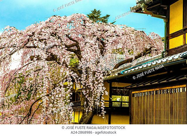 Japan, Kyoto City, cerry blossoms