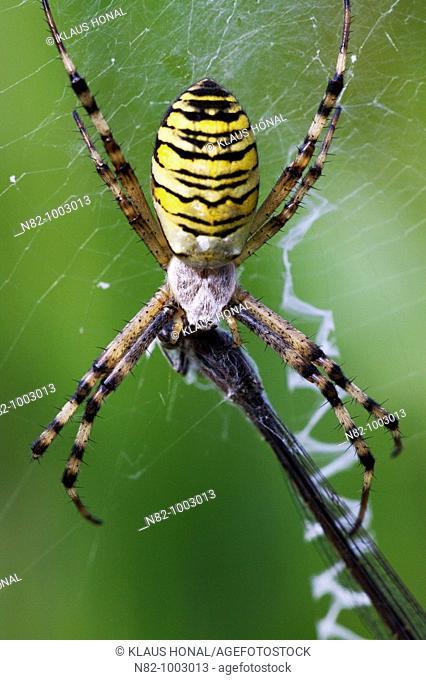 Wasp Spider Argiope bruennichi and Blue-tailed damselfly Ischnura elegans caught in web - Bavaria / Germany