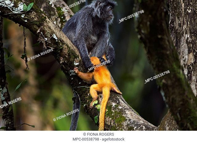 Silvered Leaf Monkey (Trachypithecus cristatus) female handling week old baby roughly, Bako National Park, Sarawak, Borneo, Malaysia