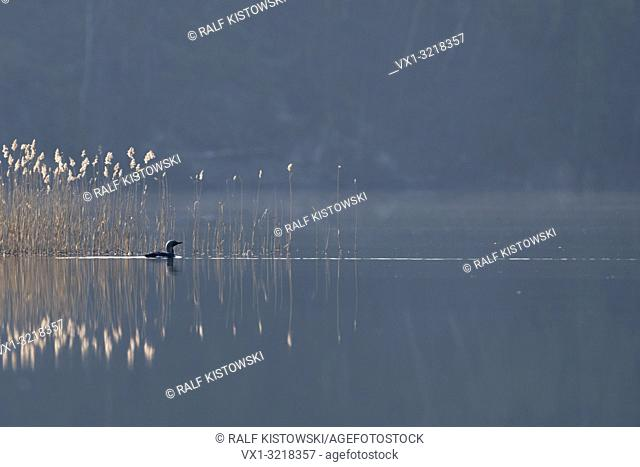 Black-throated Loon / Arctic Loon / Prachttaucher ( Gavia arctica ), swimming in front of a reed belt, on a hazy morning somewhere in Sweden.