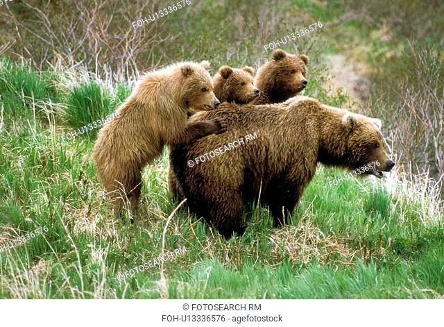 family nature children brown bears ursus arctos