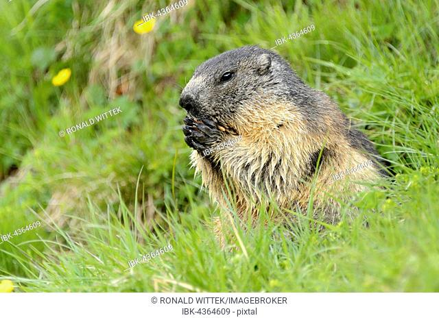 Alpine marmot (Marmota Marmota) in meadow, High Tauern National Park, Austria