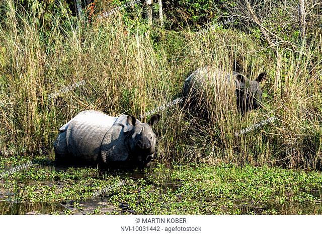 Indian rhinos in Chitwan National Park, Nepal